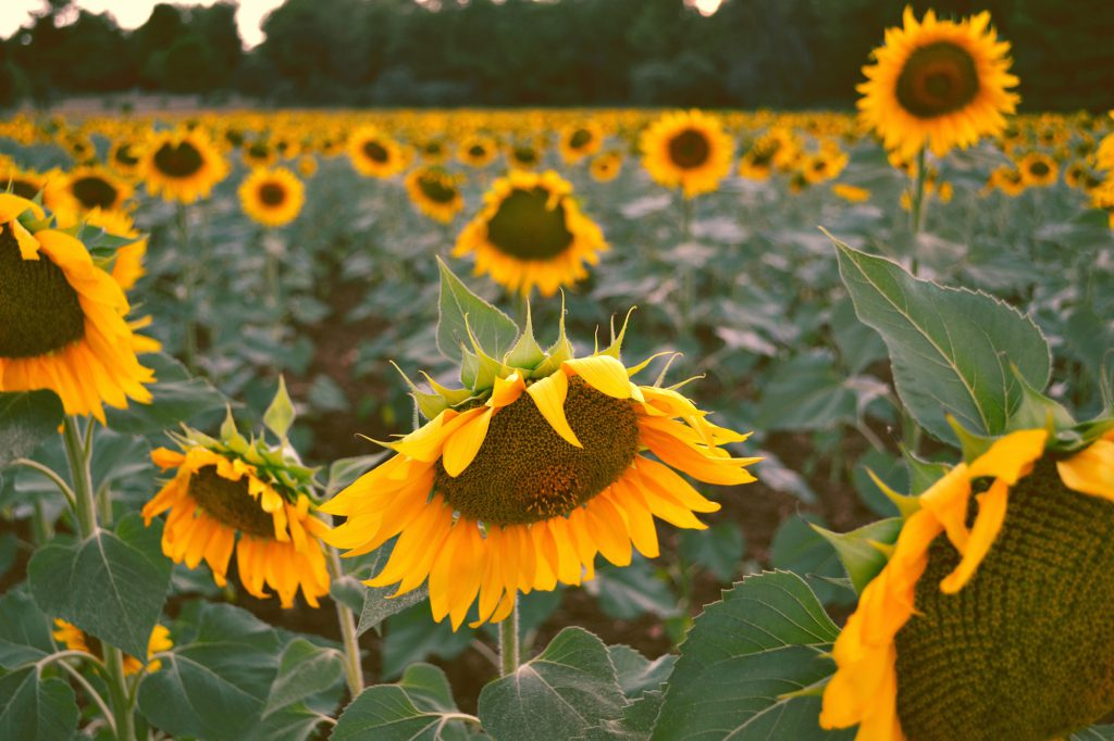 sunflower image, decorative