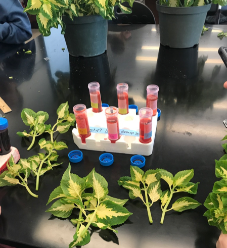 Photo 1: Coleus stems are cut and ready to be placed in the test tubes containing water with varying pH levels.