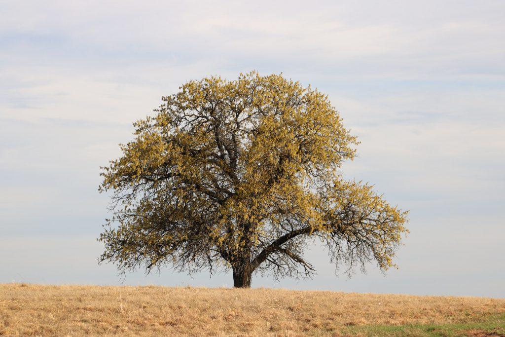 tree in Oklahoma